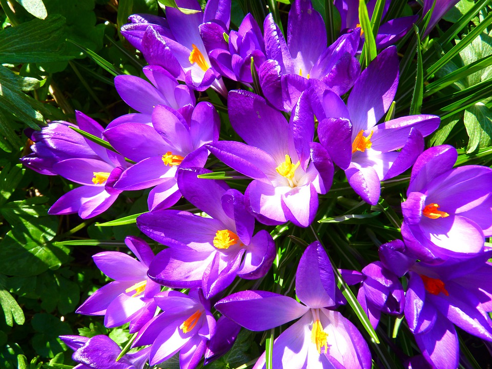 Crocus, Flower, Spring, Purple, Blossom, Bloom