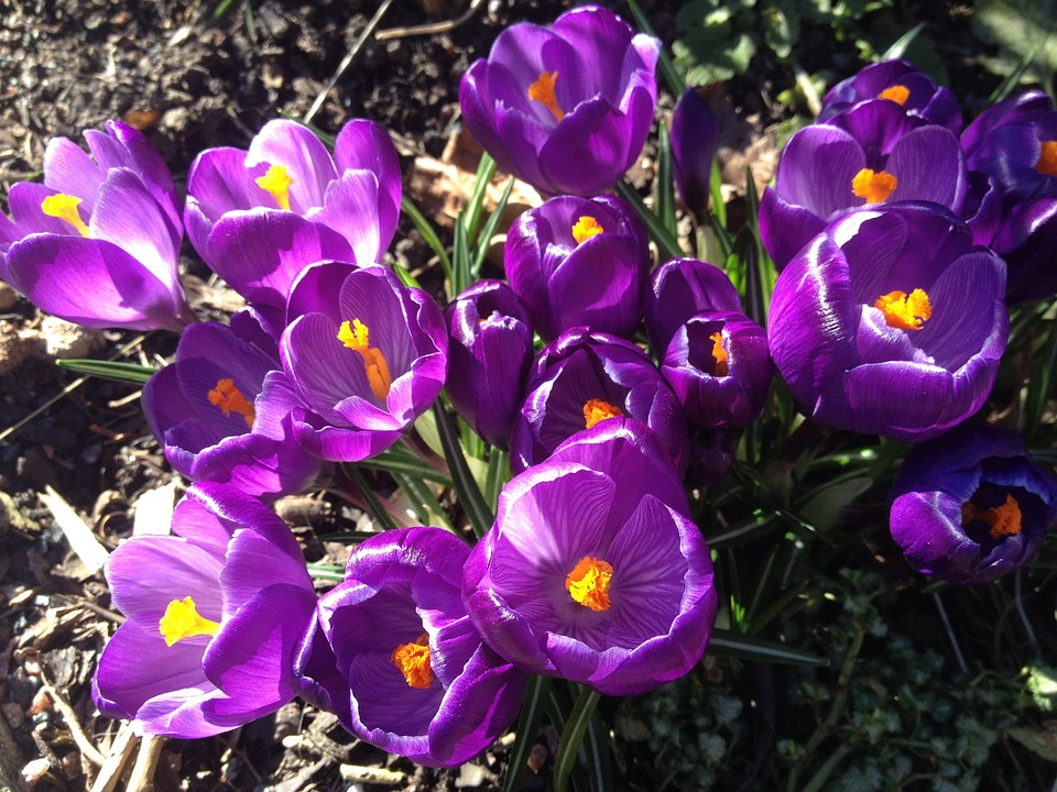 Crocus, Flower, Spring, Purple, Bloom, Blossom, Floral