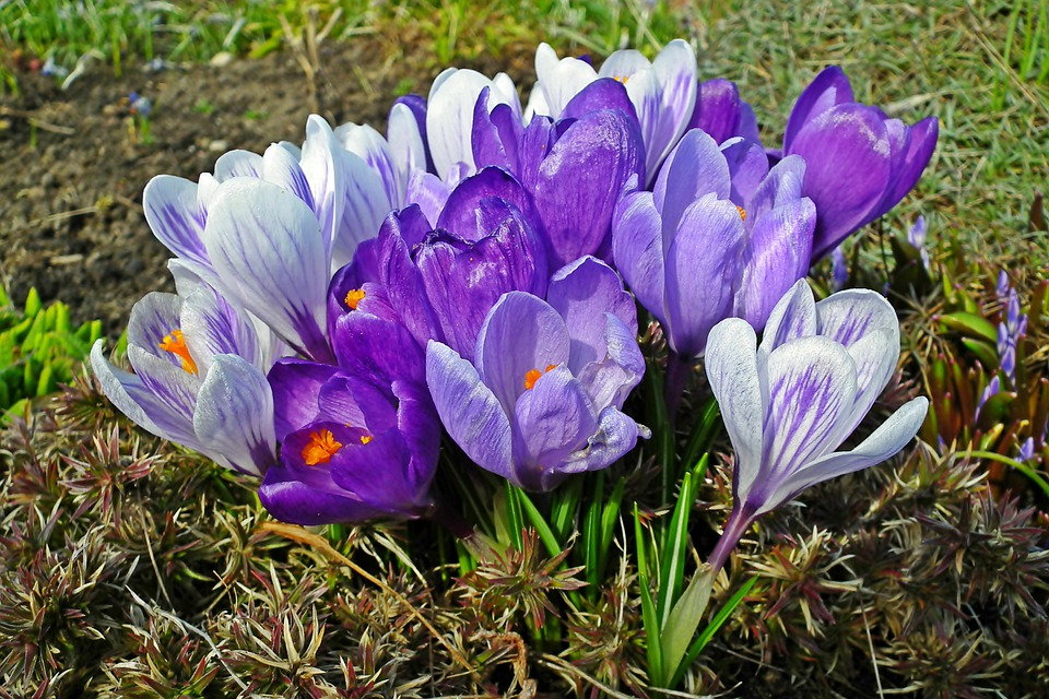 Crocus, Flowers, Spring, Plants, Nature, Closeup