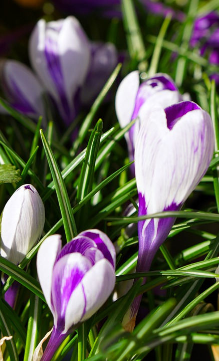 Crocus, Flowers, Spring, Nature, Early Bloomer