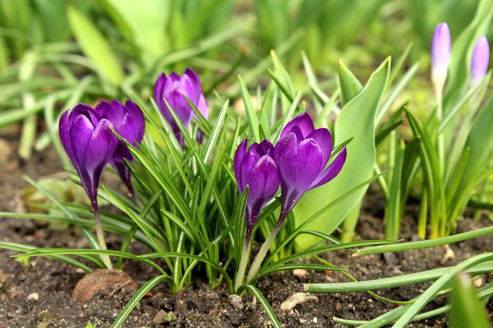 Crocus, March, Spring Flowers, Spring, Violet, Purple