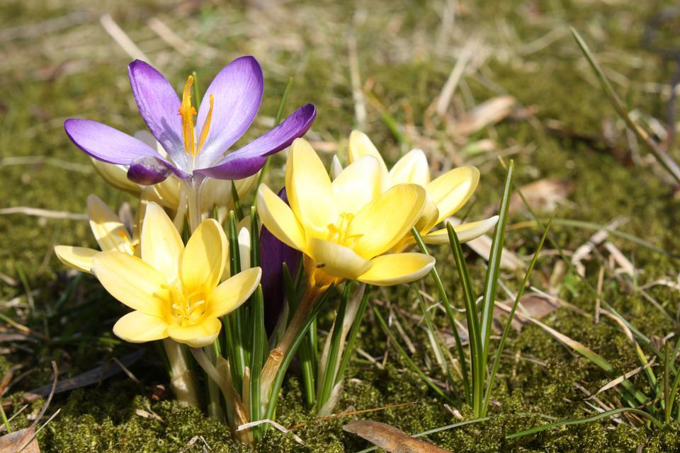 Spring, Crocus, Plant, Yellow, Nature, Flowers, Macro