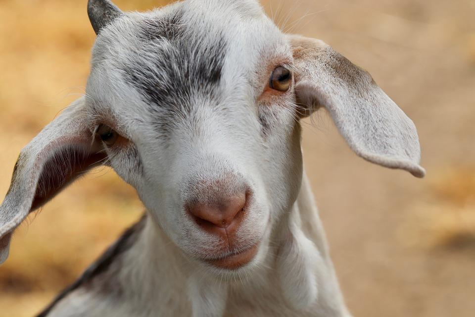 Kid, Goat, Domestic Goat, Young Animal, Croissant, Pet