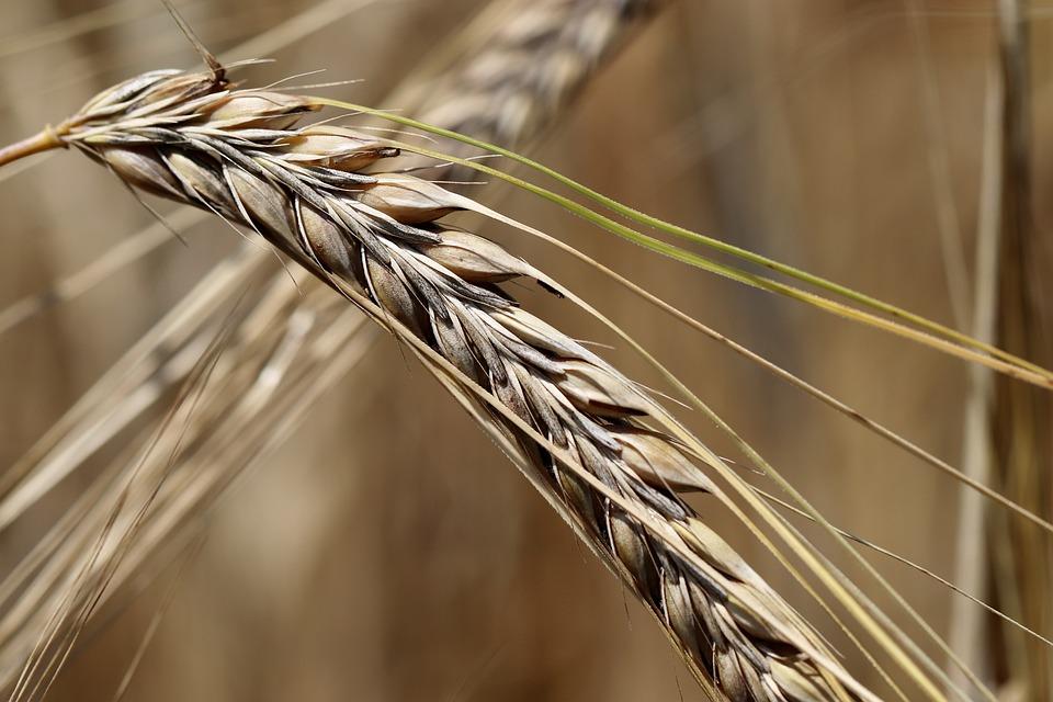 Barley, Cereals, Plant, Ear, Spike, Crop