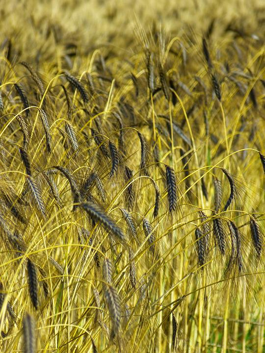 Crop, Farm, Field, Emmer Wheat, Hulled Wheat