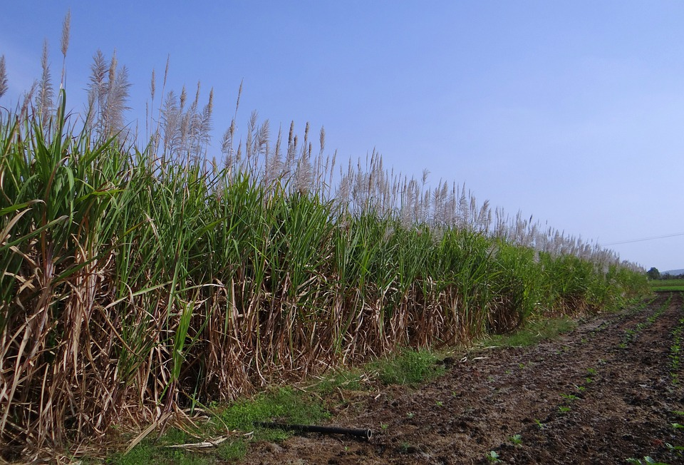 Sugarcane, Inflorescence, Flowers, Crop, Field, India