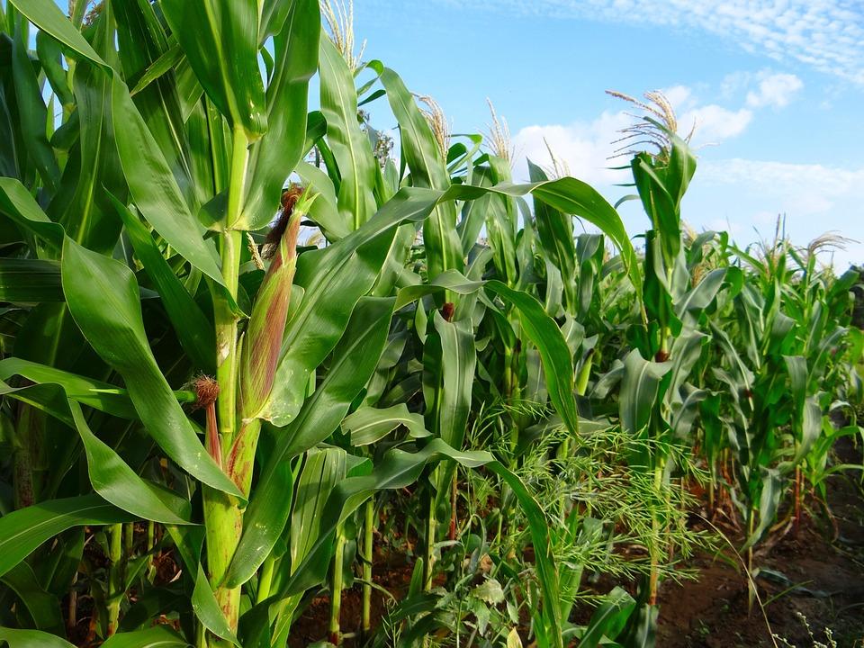 Maize, Crop, Corn, Cultivation, Agriculture, Farm
