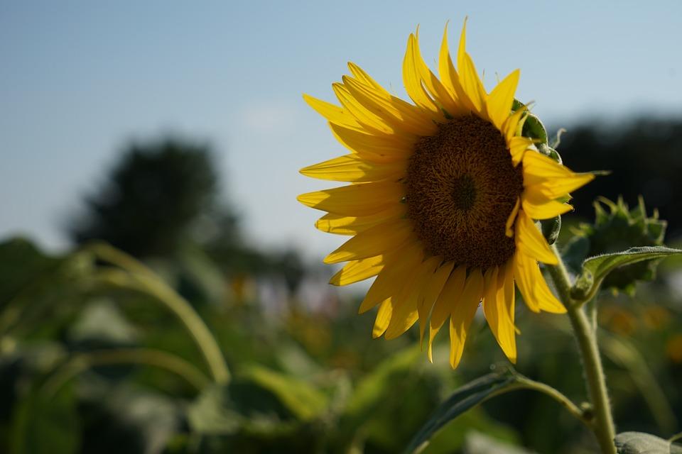 Sunflower, Summer, Yellow Flowers, Nature, Crop, Seeds