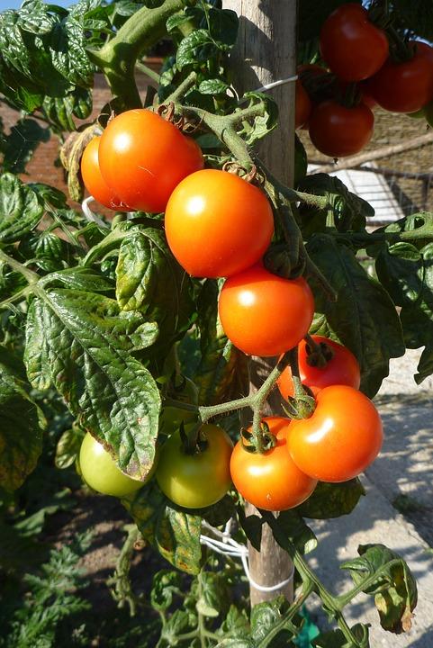 Tomatoes, Crop, Garden
