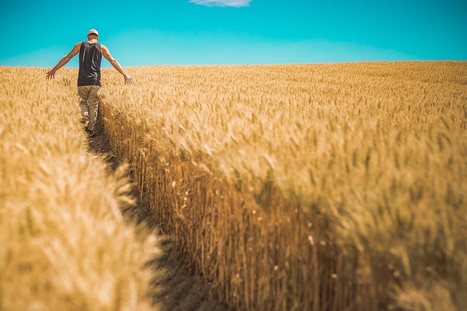 Cereal, Countryside, Crop, Cropland, Farm, Farmland