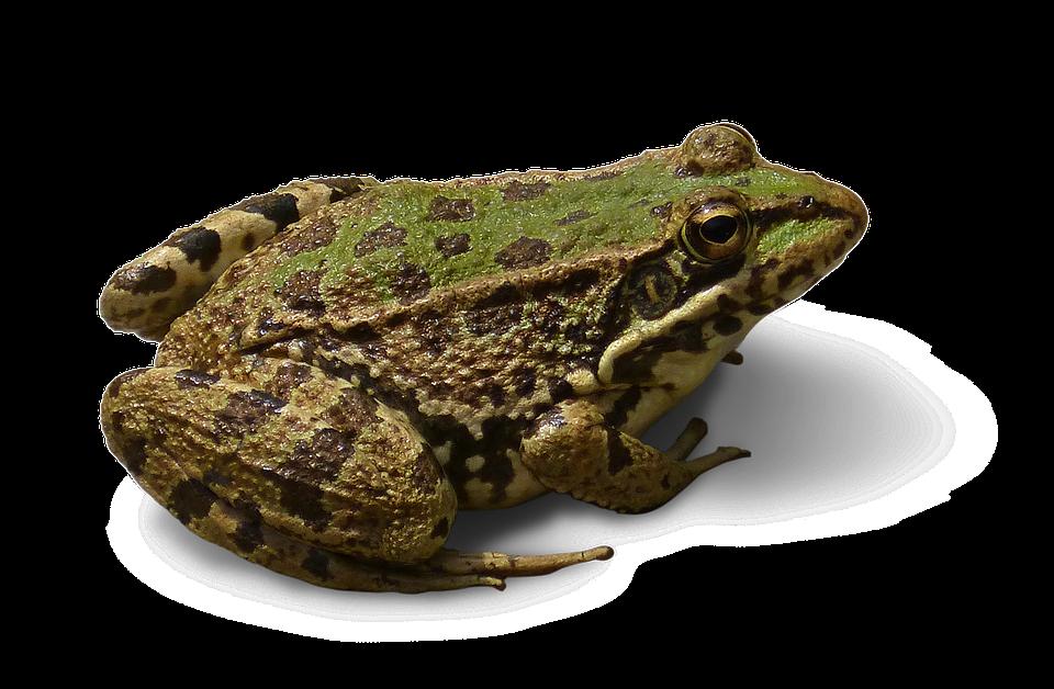 Frog, Cropped Image, Transparent Background