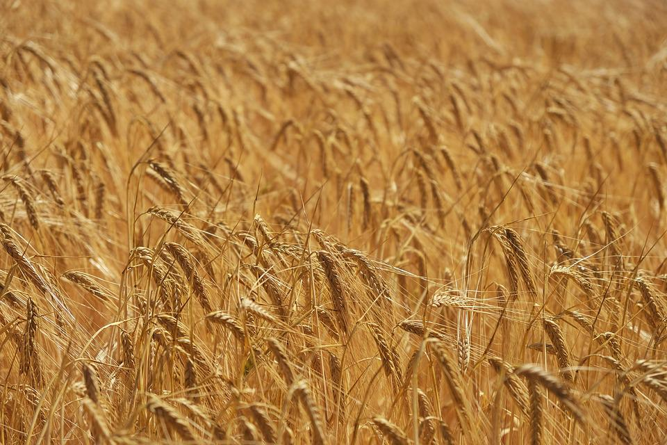 Crops, Agriculture, Crop, Green, Harvest, Countryside