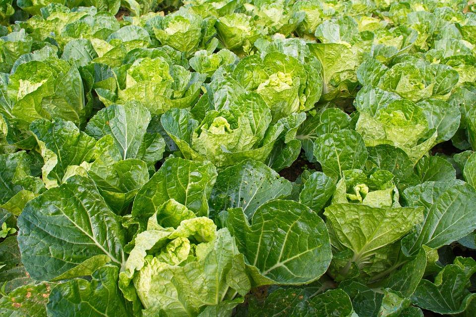 Lettuce, Vegetable, Farm, Crops, Green Vegetables