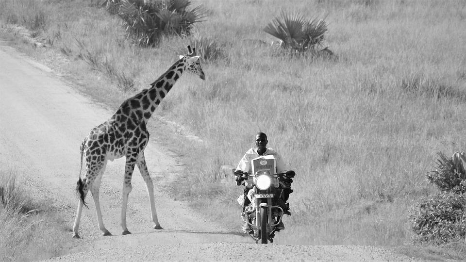 Uganda Wildlife, Mix, Humans, Giraffe, Crossing, Dirt