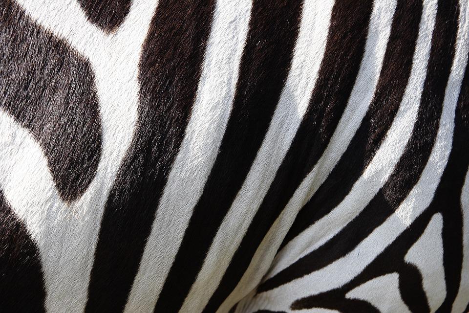 Animals, Zebra, Crosswalk, Stripes, Black And White