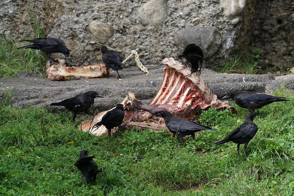 Scavengers, Aas, Dig, Crow