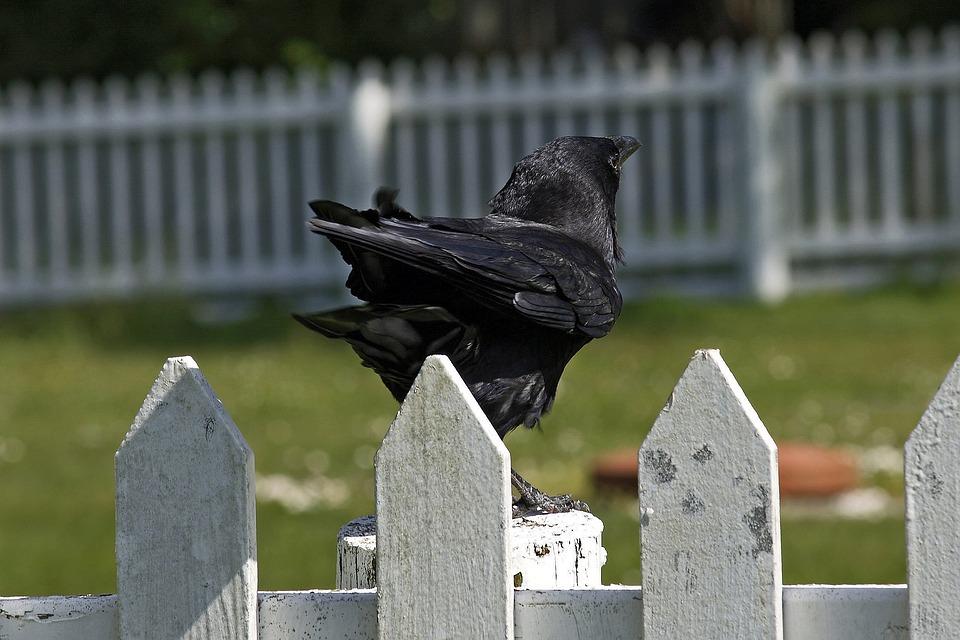 Crow, Fence, Bird, Animal, Black, Wildlife