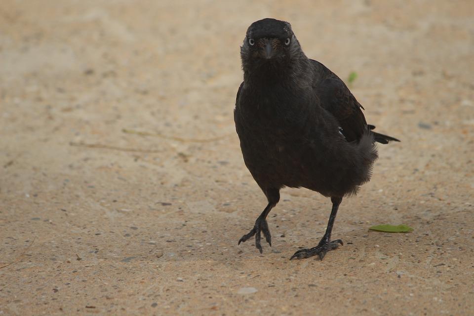 Black, Bird, Raven, Crow, Animal, Nature, Wildlife