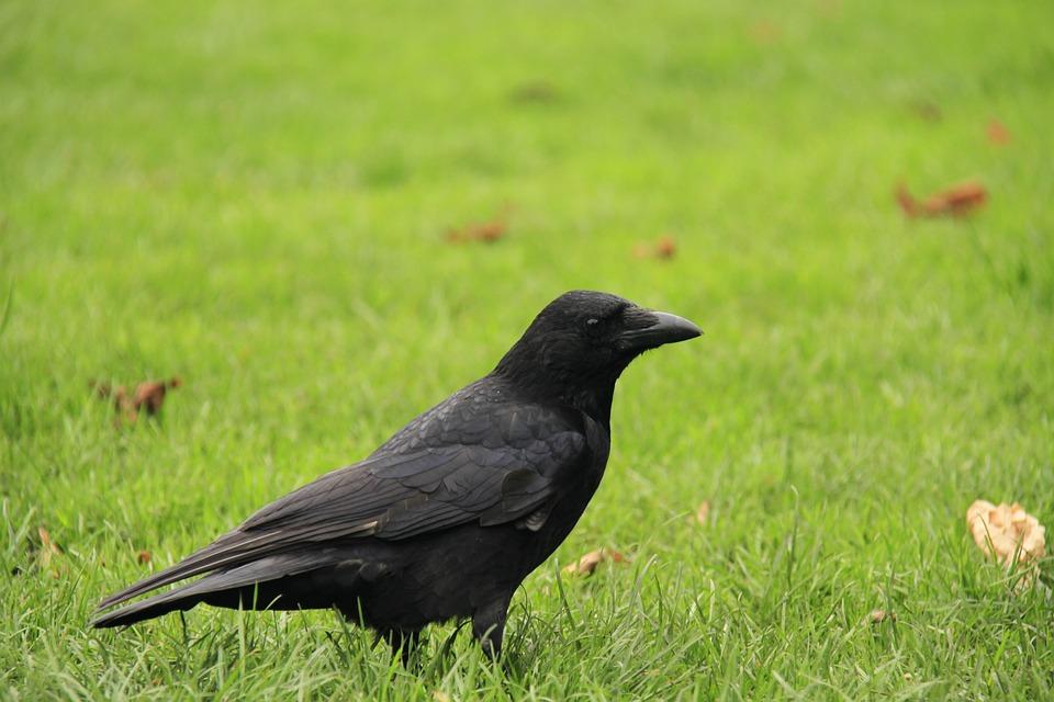 Crow, Lawn, Raven, Grass, Green, Bird, Field