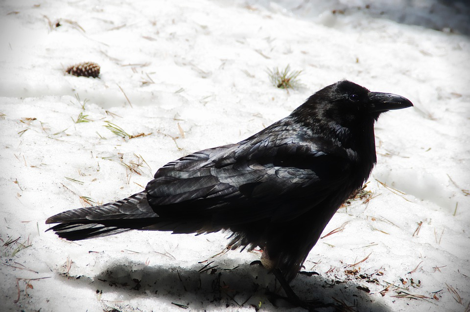 Raven, Bird, Crow, Snow, Winter, Black, Aves, Avian