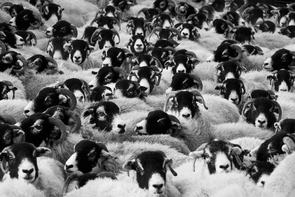 Sheep, Agriculture, Animals, Countryside, Crowd, Farm