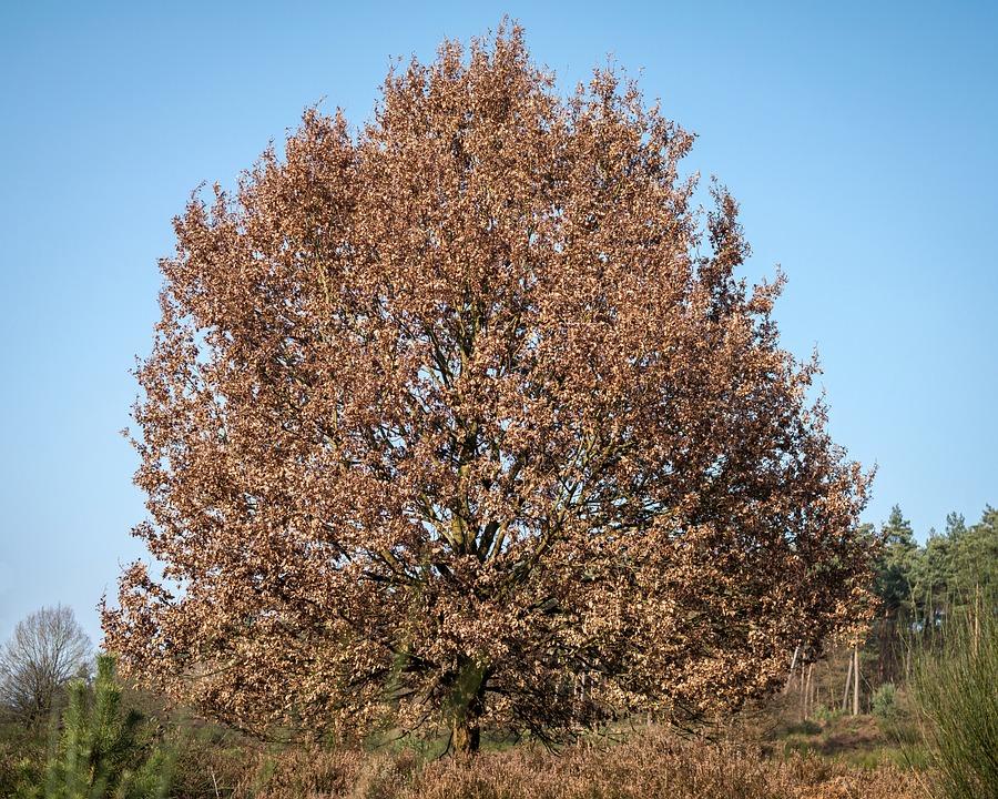 Oak, Crown, Tree, Oak Leaves, Autumn, Winter, Leaves