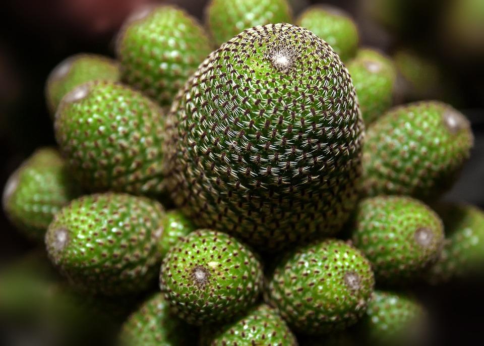 Cactus, Crown Cactus, Rebutia Heliosa, Plant, Spur