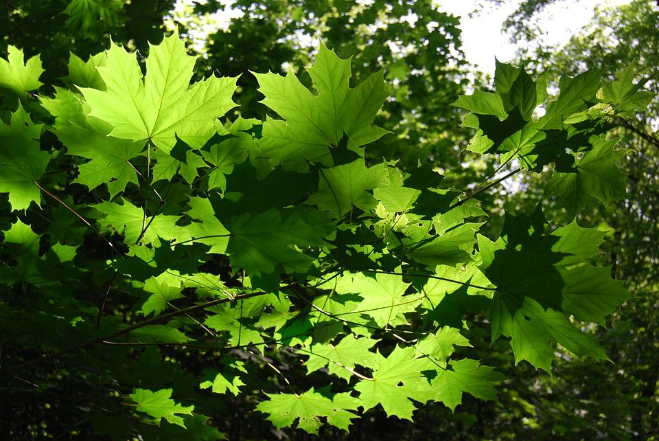 Leaves, Canopy, Green, Branches, Forest, Crown
