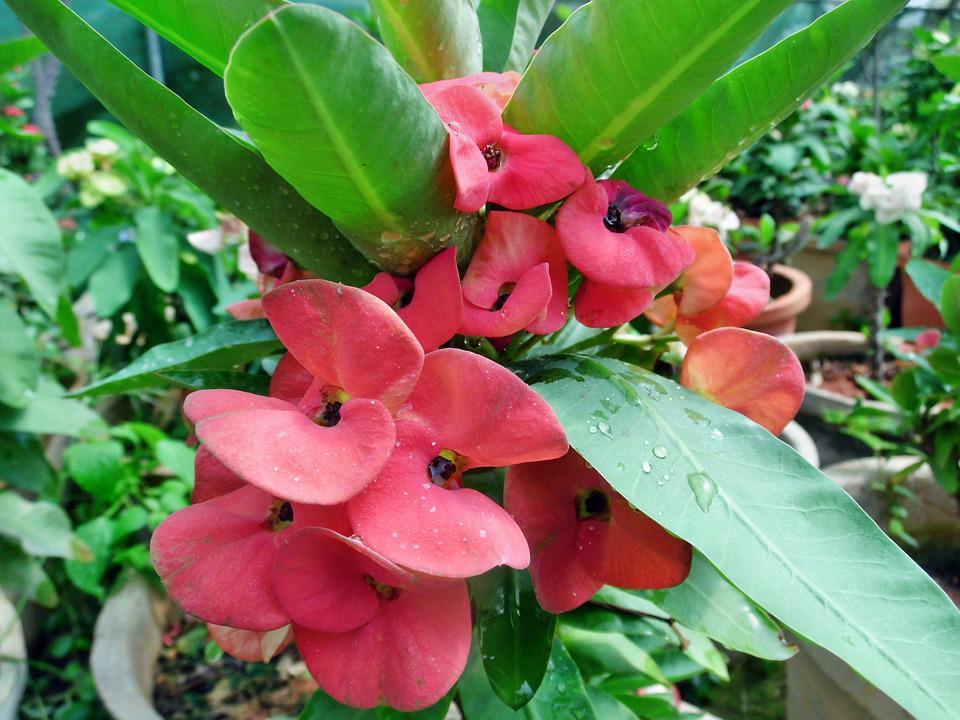 Red, Euphorbia, Milii, Flowers, Plant, Crown, Small
