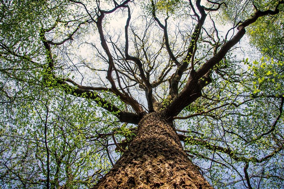 Tree, Nature, Wood, Crown, Perspective, Bark, Treetop