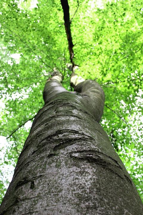 Tree, Tribe, Leaves, Beech, Crown