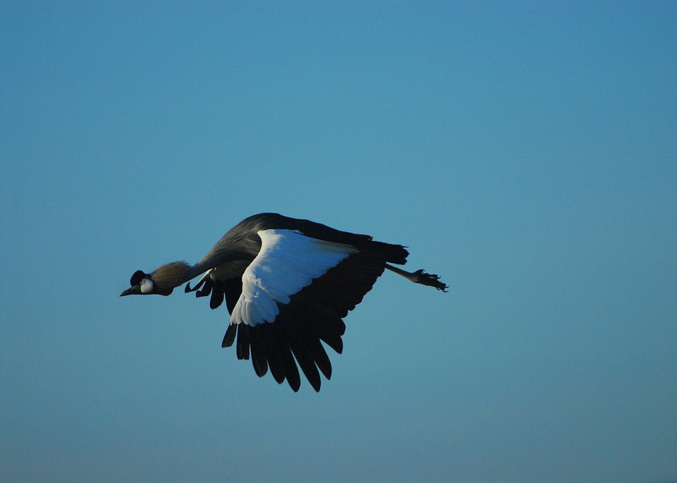 Flight, Crowned Crane, Bird, Nature, Beak, Africa