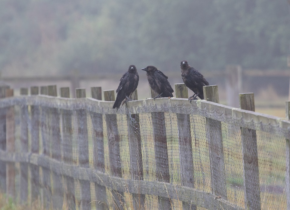 Crows On A Fence, Crows, Corvids, Black Birds, Perched