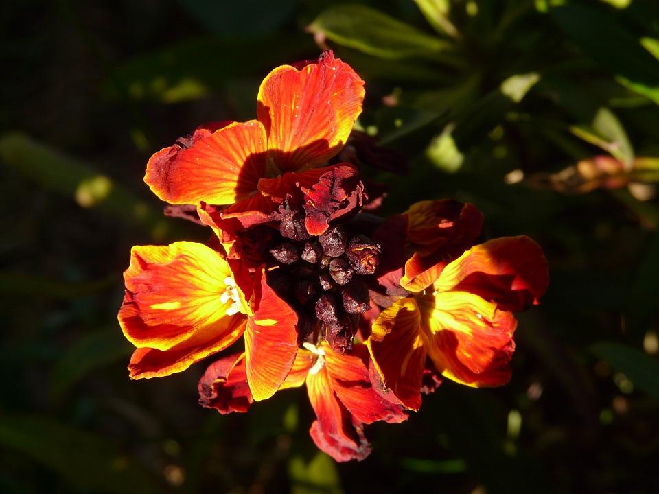 Gold Lacquer, Cruciferous, Ornamental Plant, Flower