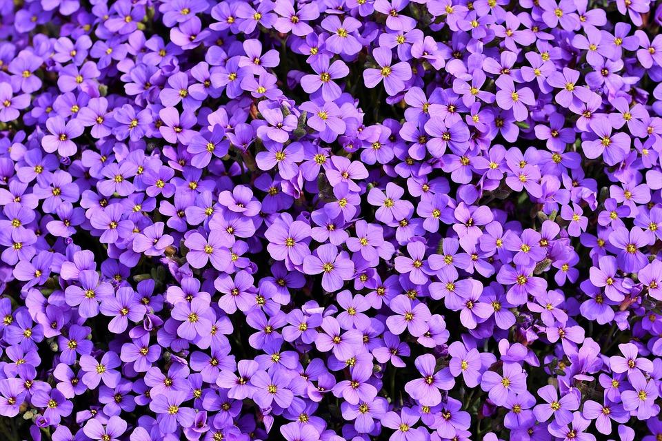 Blue Pillow, Aubrietien, Violet, Cruciferous Plant