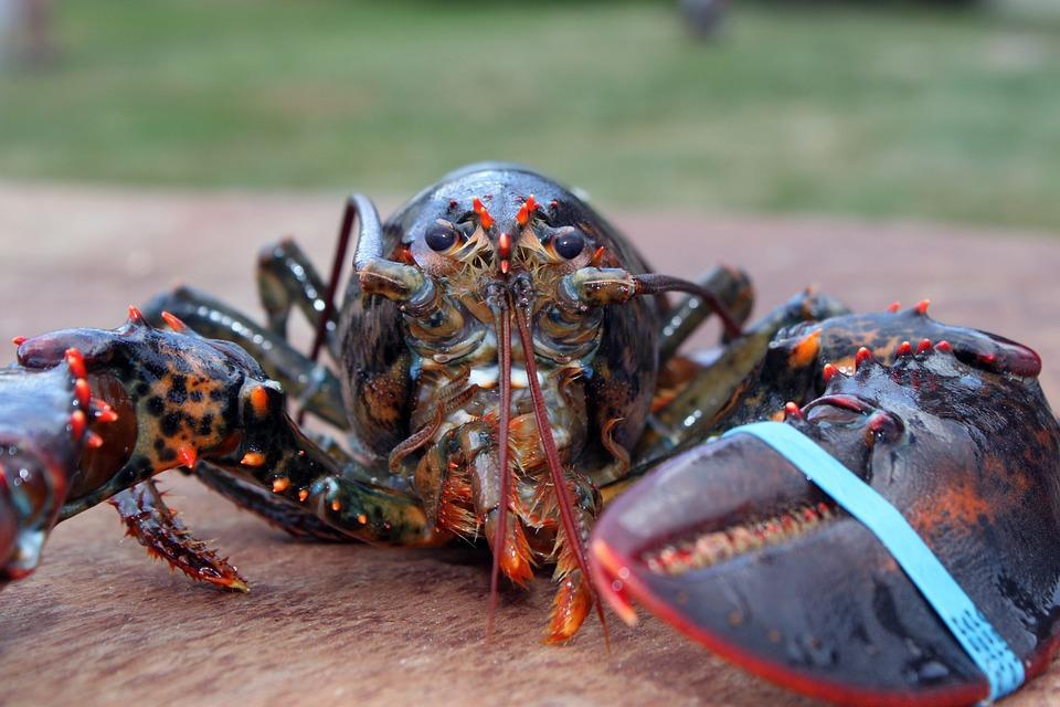 Lobster, Maine, Crustacaen, Seafood, Shellfish