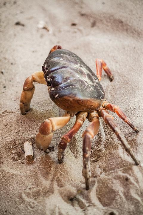 Crab, Sea Life, Crustacean, Beach, Marine