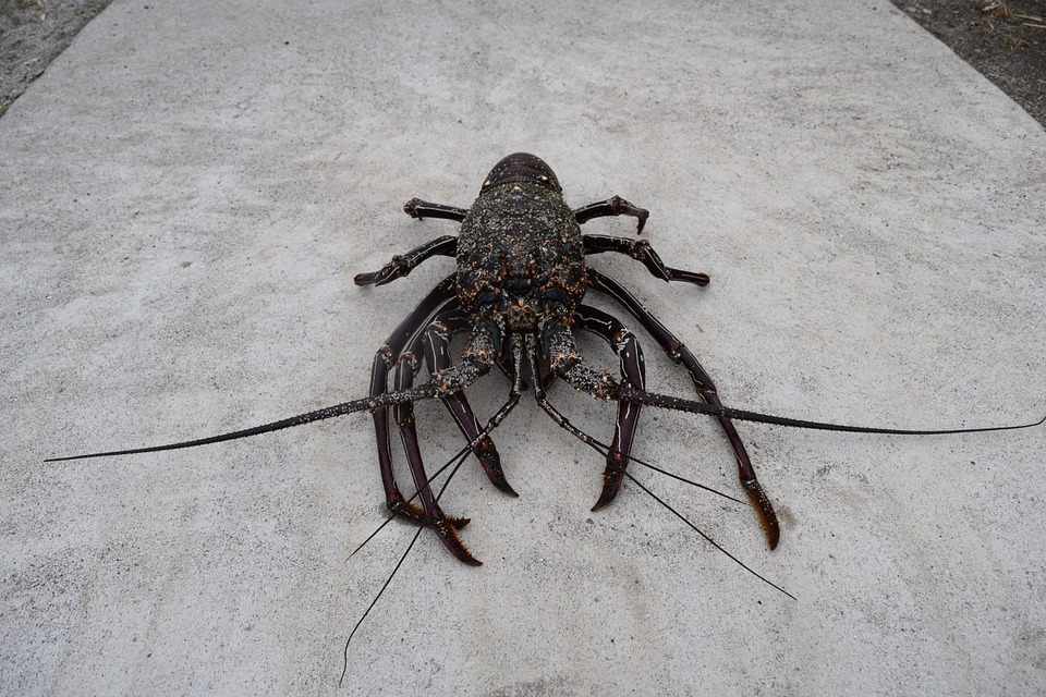 Spiny Lobster, Crustaceans