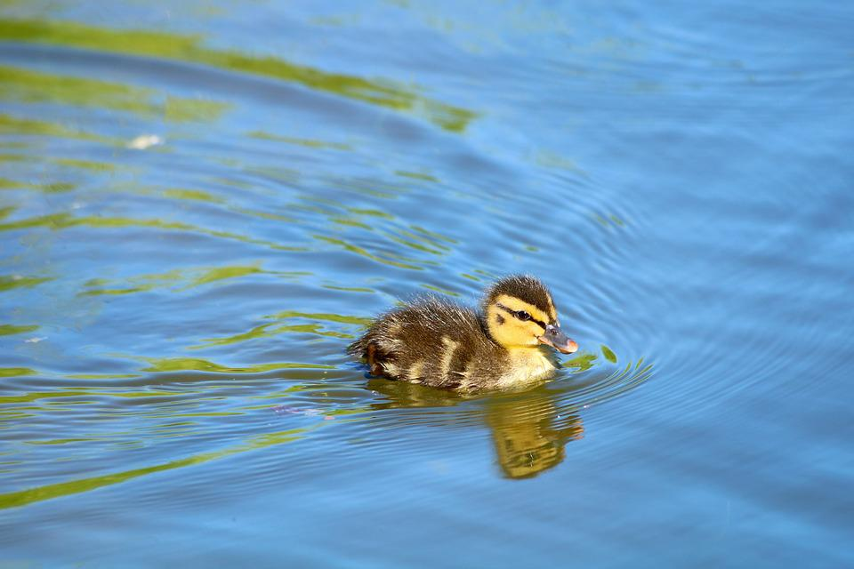Duckling, Duck, Cub, Pond, Water, Nature