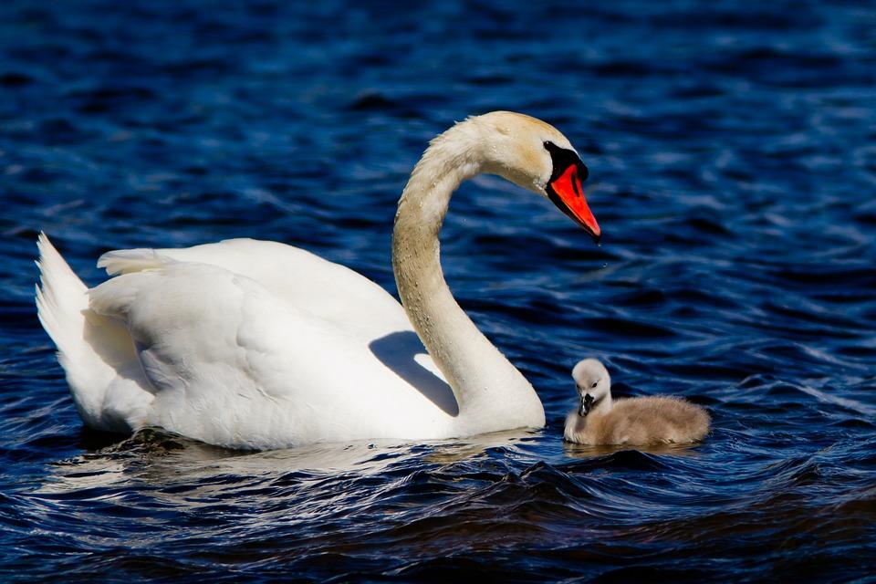 Swan, Cub, White, Water, Waterfowl, Nature, Cam, Sea