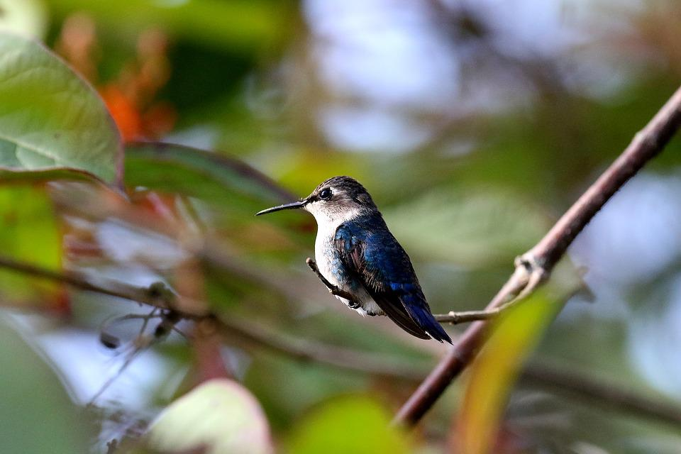 Cuba, Hummingbird, Bee Hummingbird, Blue, Green, Small