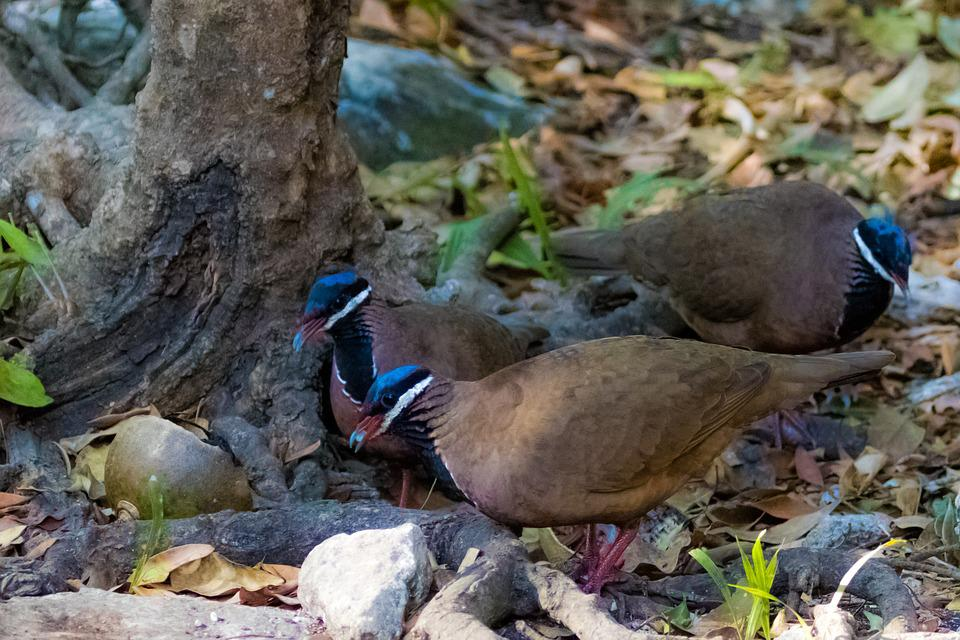 Cuba, Pigeon, Bird, Blue-headed Quail-dove, Endemic
