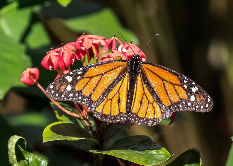 Cuba, Habana, Butterfly, Insect, Nature, Flower, Wing