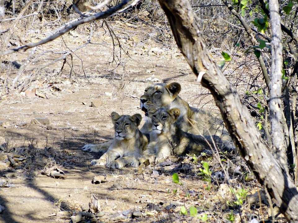 Indian Lion, Panthera Leo Persica, Lioness, Cubs