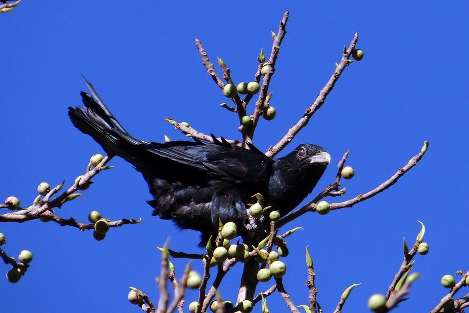 Asian Koel, Eudynamys Scolopaceus, Bird, Male, Cuckoo