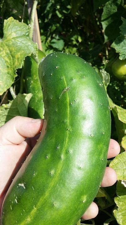Cucumber, Green, Hand, Mature