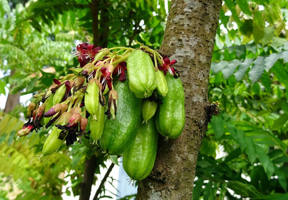 Bilimbi, Fruit, Flower, Averrhoa Bilimbi, Cucumber Tree