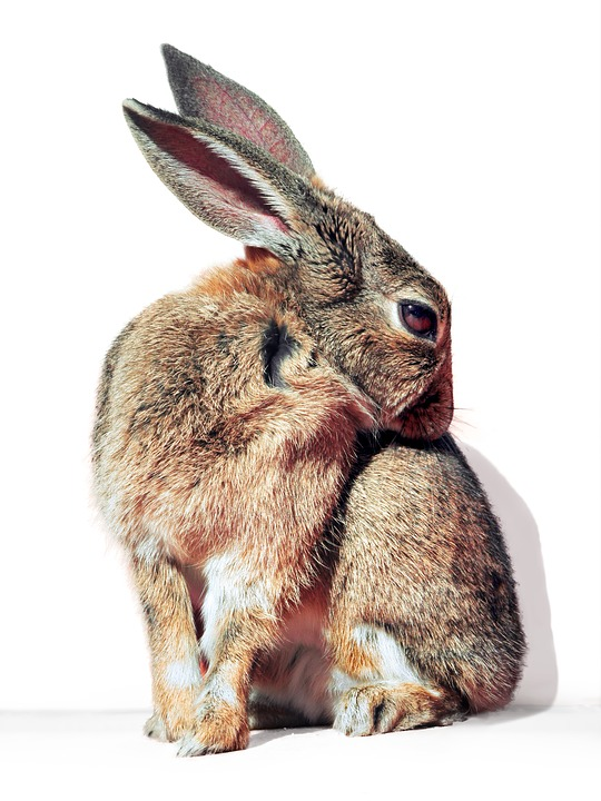 Rabbit, Hare, Cure, Pet, Wildlife, Cuddly, Fluffy