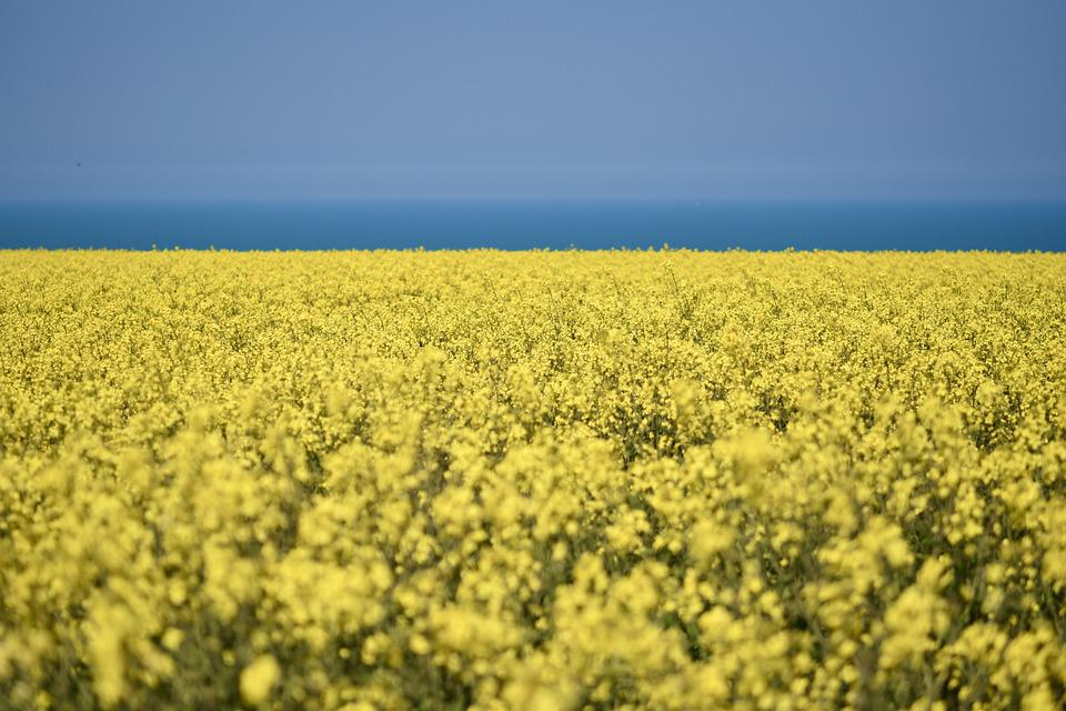 Rapeseed, Cultivated Field, Yellow Flowers