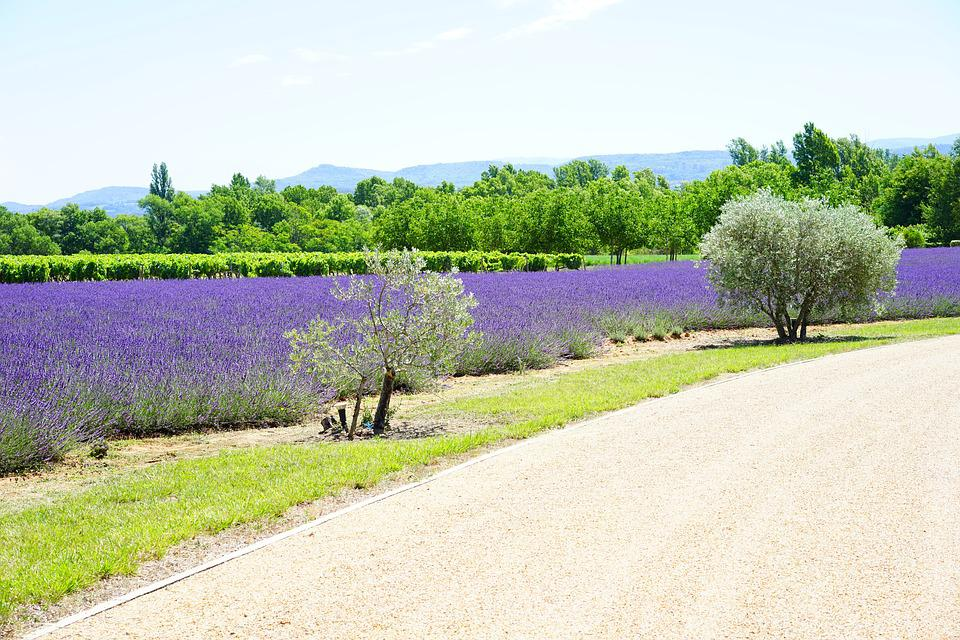 Away, Access, Field, Lavender Cultivation, Cultivation